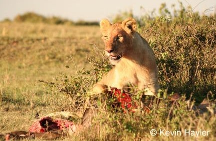 A lion cub in Kenya. Where to find wildlife subjects in the wild. Cheap Safaris