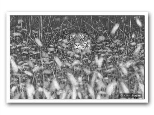 using depth of field as a drawing technique. An example image of a tiger in tall grass