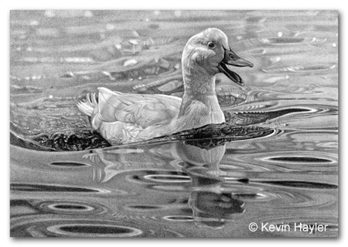 Drawing of a white duck on a pond with reflections and ripples.