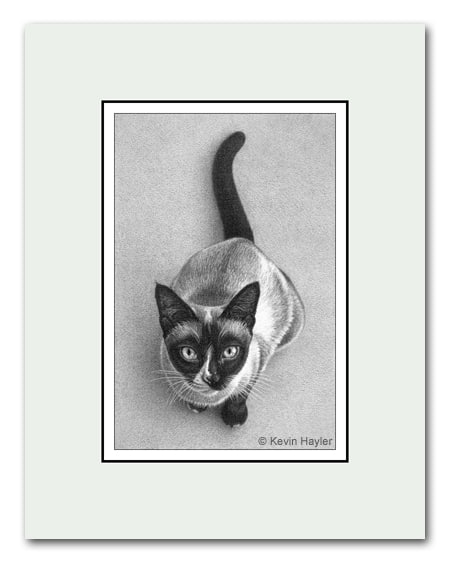 Siamese cat pet portrait a pencil drawing by Kevin Hayler