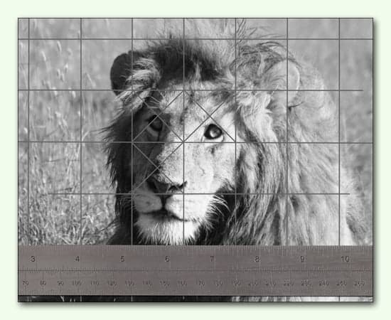 how to scale up a drawing with an accurate grid. A close-up detail of a lion photo with grid lines and a ruler.