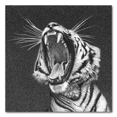 A tiger yawning. A drawing detail. Showing white lines in a pencil drawing. Whiskers drawn using a toothpick