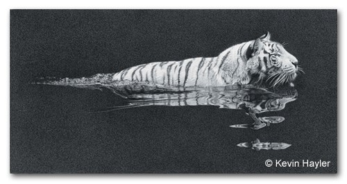 White tiger swimming a mechanical pencil drawing by Kevin Hayler