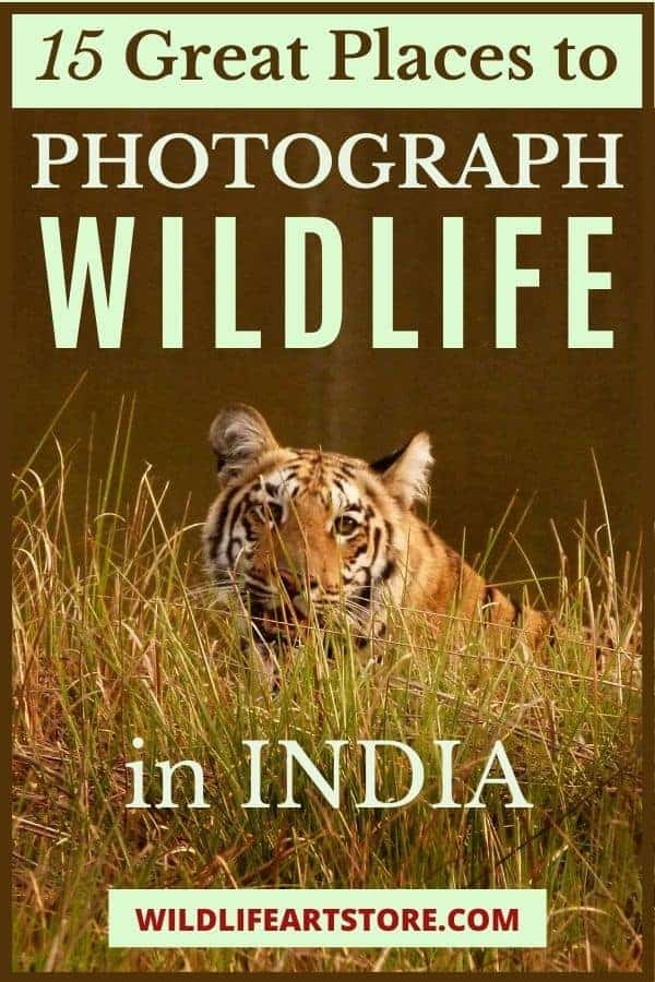 15 places to photograph wildlife in India. Wild tiger photo for Pinterest