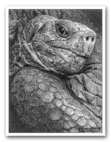 A Galapagos giant tortoise drawn in hyper-realistic detail. Used as an example of using detail to enhance contrast in a drawing