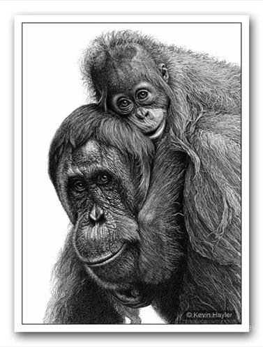 Orangutan sketch with the eyes turned towards the viewer. Example of making a drawing more interesting