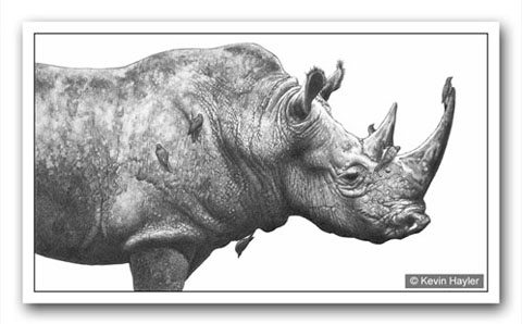 A rhino drawing with oxpeckers added to make it more interesting. A pencil drawing by Kevin Hayler