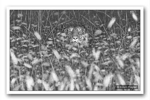 A tiger poking his head out of the grass. A pencil drawing using depth of field effects to add drama