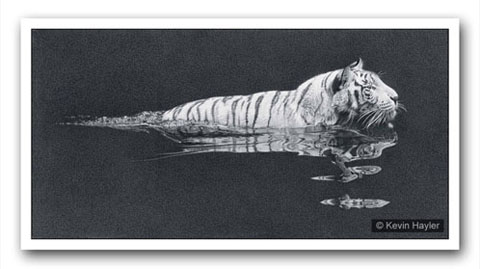 white tiger swimming. a pencil drawing by Kevin Hayler. Example of creating interest by omitting features
