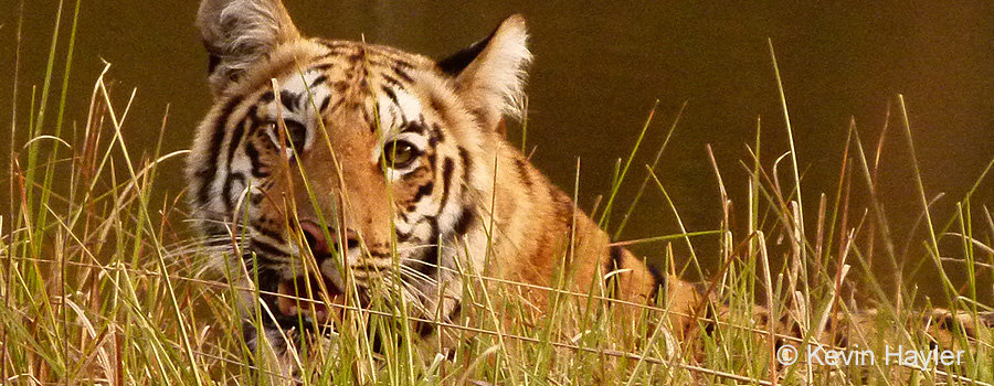 Wildlife photography in India. A Bengal Tiger