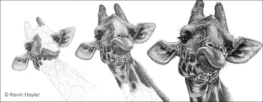 how to draw a giraffe featured image. Three drawings of a giraffe drawing in progress