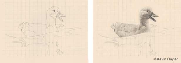 Drawing a duck on water steps 1 and 2. Drawing the grid, contour drawing and the duck feathers